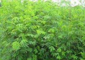 Cỏ Keo Dậu (Leuceana leucocephala)
