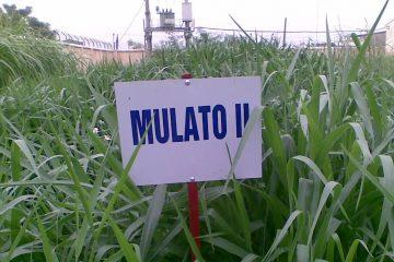 Hạt giống cỏ Mulato II